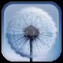 icon Dandelion Live Wallpaper